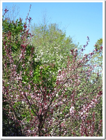 20120512_blossoms_009