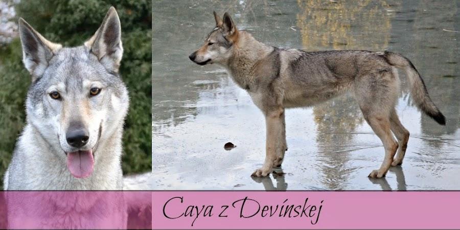 Caya z Devínskej.jpg