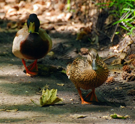 13. Mallards on path-DSC_0077