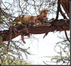 October 24, 2012 leopard in tree after lunch