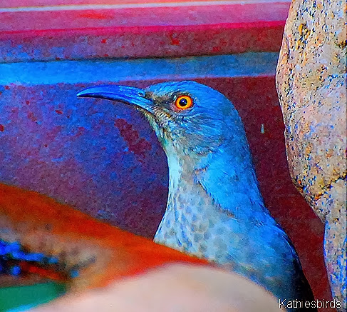 2-21-14 Portrait of a Curve-billed Thrasher AFF 18-kab