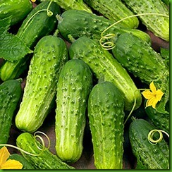 Cucumber Boston Pickling