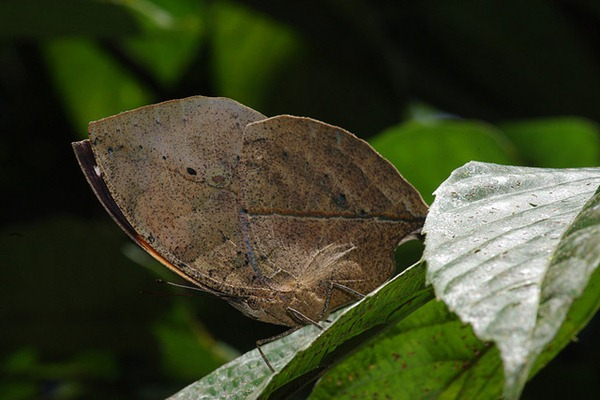 leaf mimicking butterfly
