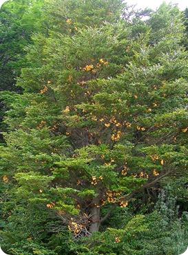 Árvore cheia de pan de indio