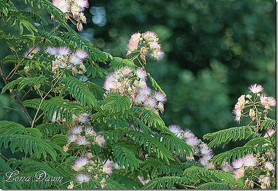 Mimosa_Blooms