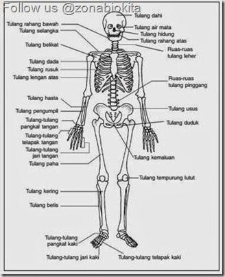kerangka manusia skeleton
