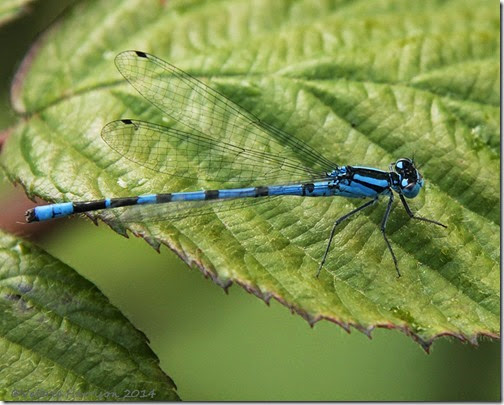6 Common-blue-damselfly-2