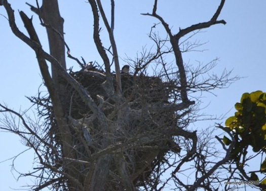 Osprey Nest with Chicks