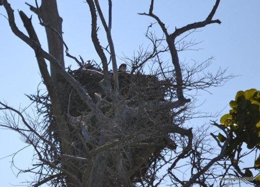 Osprey Nest with Chicks