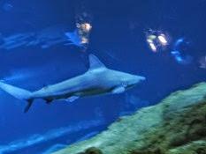 2015.01.25-073 requin