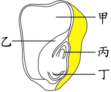图一为玉米种子的构造示意图
