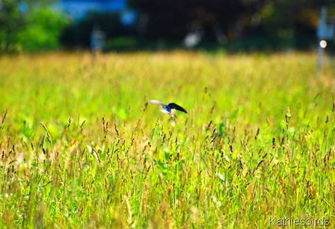 3. swallow over meadow-kab