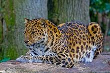 Amur_Leopard