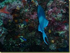 Blue Trigger Fish