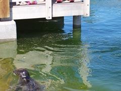 2005.08.07-012 veau marin