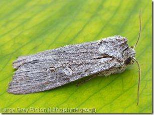 Large Grey Pinion (Lithophane georgii) (1)