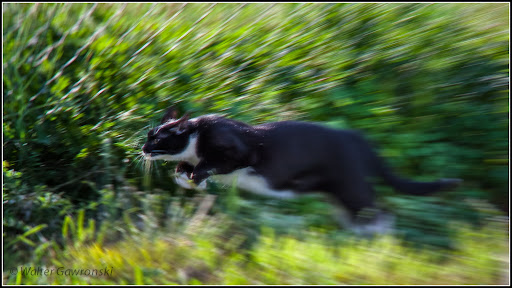 Oreo, hunting grasshoppers  He's a house cat and only allowed outside under supervision, so that he doesn't kill birds and stuff. Grasshoppers are fair game.  Finally  nailed an animal shot, and with an old manual 200mm lens. There's a tiny bit of blur near the head, but I'm happy with it.  Canon 450D, M42 Auto Chinon 200mm 1:3.5, 1/400s at f8, ISO400