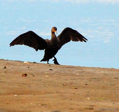 5. cormorant-kab