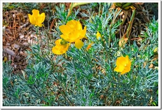 141026_UCDA_Hunnemannia-fumariifolia_002