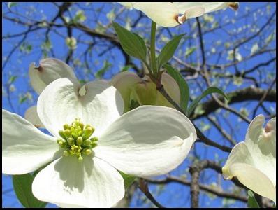 flowering-dogwood-tree
