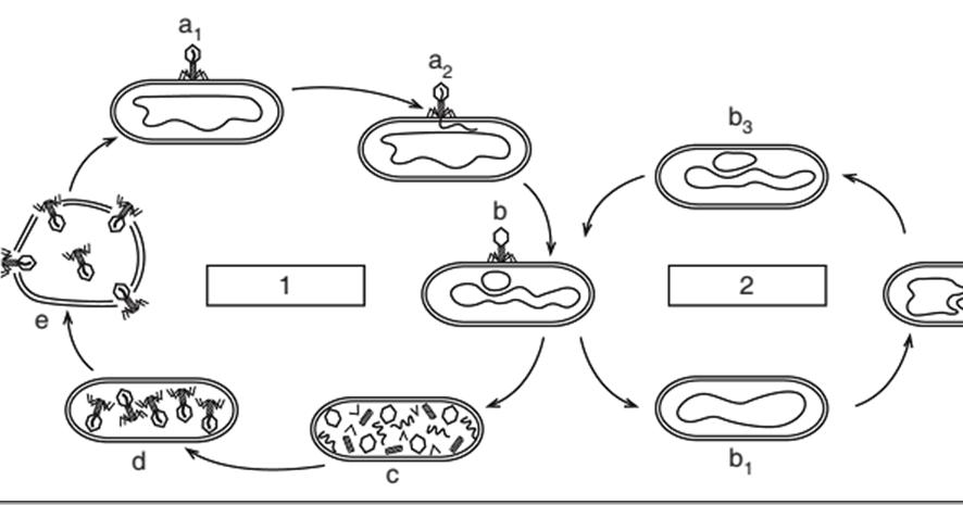 Replikasi Virus | Kumpulan Perbedaan
