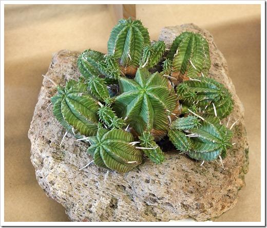 120519_CCSS_Euphorbia-valida-Harley