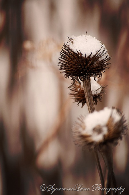 winter coneflower-web-SycamoreLane Photography