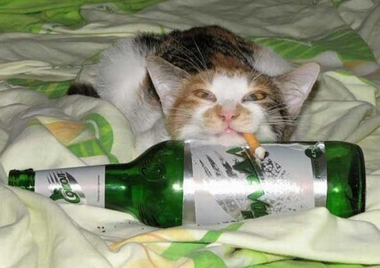 Can-cat-drink-alcohol-10
