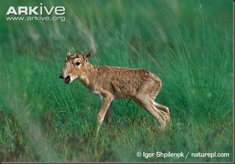 ARKive image GES034954 - Saiga antelope
