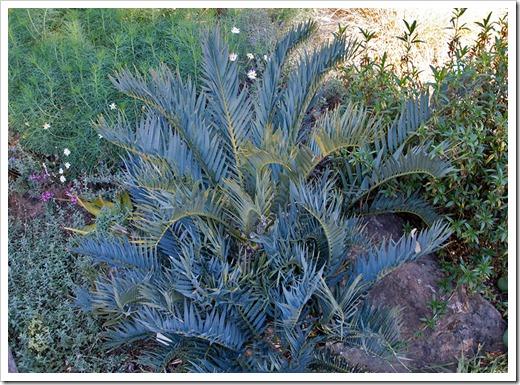 111228_UCBG_Encephalartos-trispinosus_02