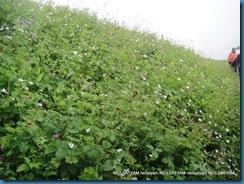 Name : Parassia cabulica<br />Family :Primulaceae
