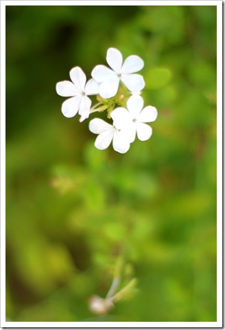 Jamaica Flower IMG_7038