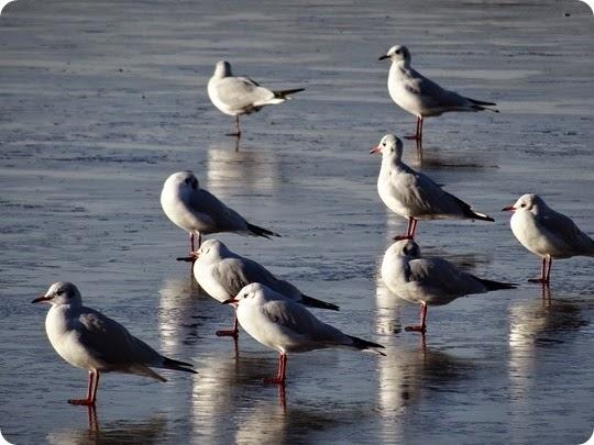 Nantwich Lake u2013 frozen u2013 13-12-14 (1)