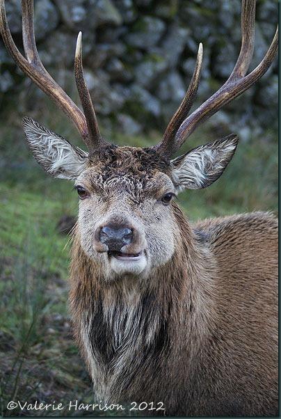 19-red-deer