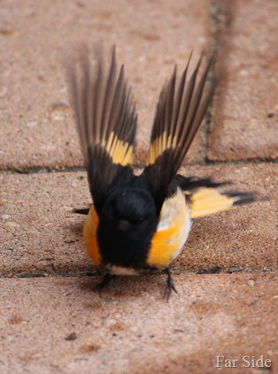 American Redstart feathers