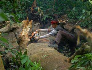 A poacher chops down a tree in a protected forest. The real brains behind the trade in illegal timber are elsewhere. Sipa Press / Rex Features via newscientist.com