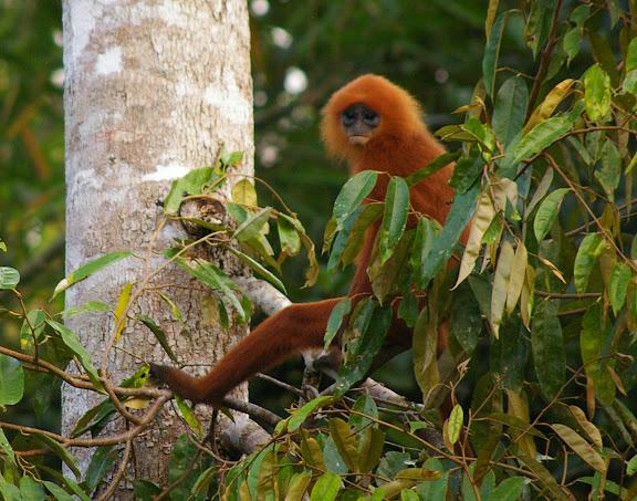 Langur rouge (Presbytis rubicunda). Sukau (Sabah), 8 août 2011. Photo : J.-M. Gayman