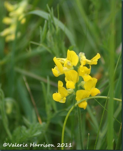 16-meadow-vetchling