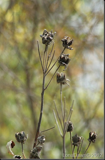 Ross_Lake_Seedpods2