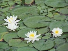 pond lilies 7.25.2013. 1