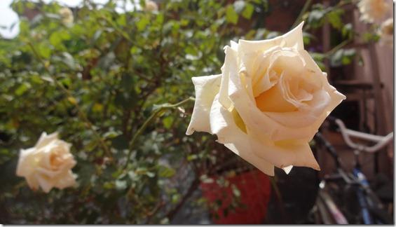flor-flores-rosas-imagens210