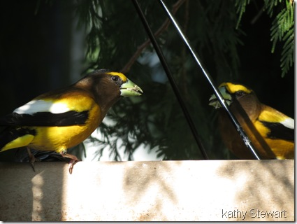 Two Grosbeaks