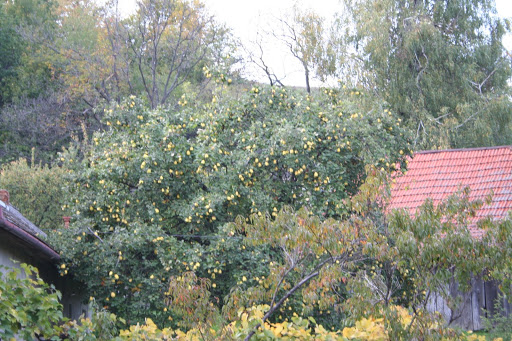 Pears in vicinity of Hrusov, region known for pear brandy