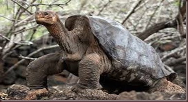 Amazing Animals Pictures Pinta Island tortoise (2)