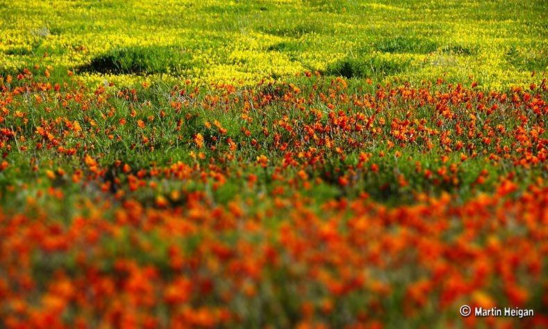 Namaqualand-flores-3