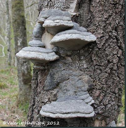 35-bracket-fungi