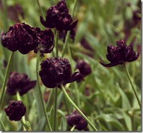 Tulipa Negra Autora Natália Itabayana