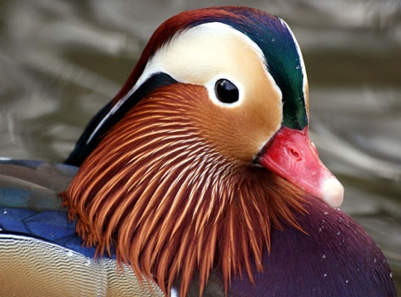 most-colorful-duck-2