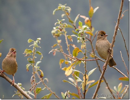 Gold-crowned Sparrows?