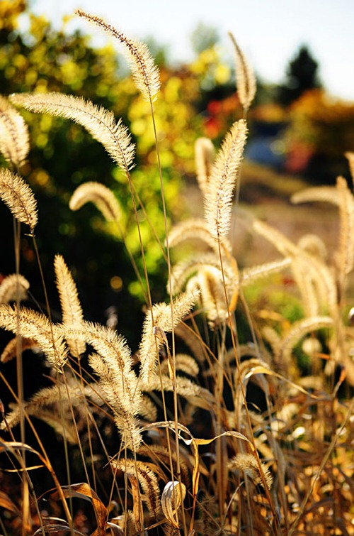 foxtail-1-SycamoreLane Photography